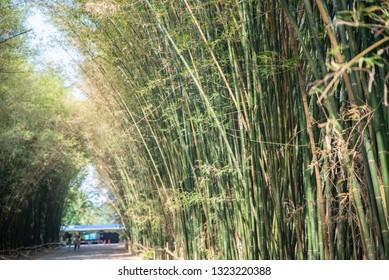 Fresh green bamboo grove, Thailand