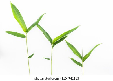 Fresh green bamboo leaves with tiny branch and fine or tapering leaves on isolated white background. Bamboo is evergreen plants and fastest growing in tropical country in asia ,a material 's building.