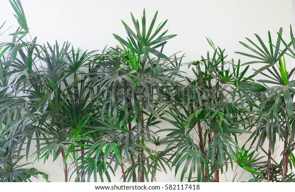 Fresh and green bamboo palm leaves  or rhapis leafs or lady palm leaves growing near white concrete wall. Plants for house decoration as background abstract, bamboo palm leaves on white background