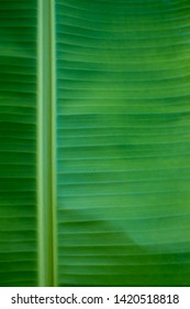 A Fresh Green Banana Leaf