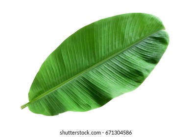 Fresh green Banana leaves are young. isolated