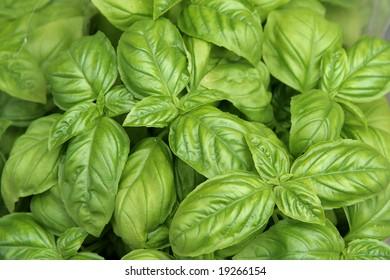 Fresh green basil close-up