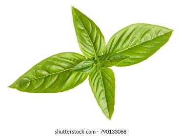 Fresh green basil isolated on white background