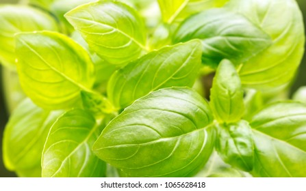 Fresh green basil leaves close-up with copy space