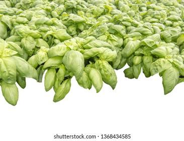 Fresh green basil leaves full frame kitchen garden margin isolated on white
