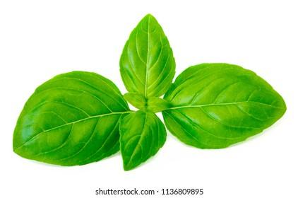 Fresh green basil leaves isolated on white background, close up.  Basil herb. Ocimum basilicum