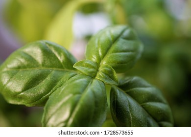 fresh green basil leaves for the mediterranean kitchen