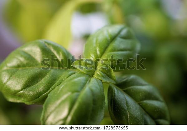 fresh green basil leaves for the mediterranean kitchen