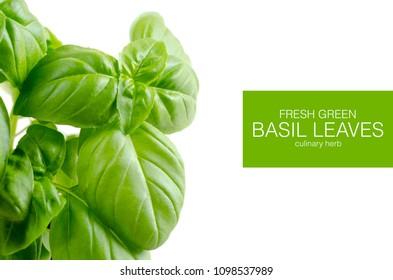 fresh green basil leaves on white background