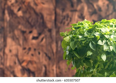 Fresh green basil plant for healthy cooking, herbs and spices