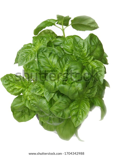 Fresh green basil in a small pot on white background