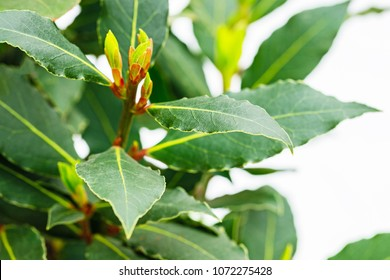 Fresh green Bay leaf plant, close up. Bay laurel Bush ( Laurus nobilis, Lauraceae ), close up