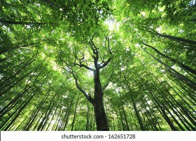 A fresh green beech forest