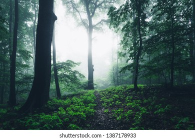 Fresh green beech forest in the fog with a view to a clearing