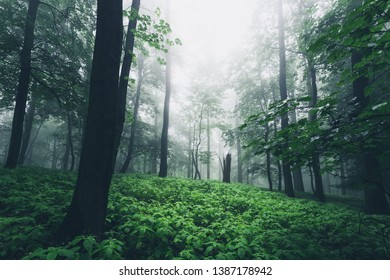 Fresh green beech forest with fog in spring