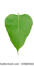 Fresh green Bodhi leaf isolated on white background with clipping path.