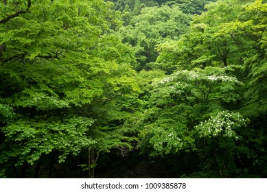 Fresh green broad leaf trees native forest in early summer