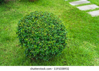 The fresh Green bush tree decorated in garden with green grass floor background