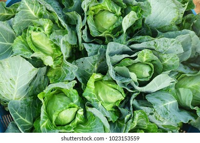 the fresh green cabbage