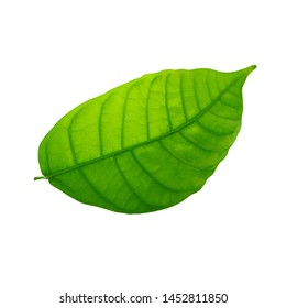 fresh green cacao leaf isolated on white background
