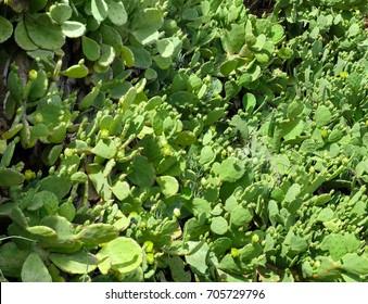 Fresh green cacti on sunny day