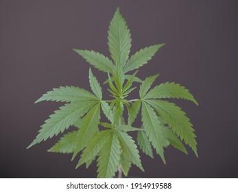 fresh green cannabis leaf medicinal plant growing