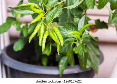 Fresh green chillis (Pepper) on a plastic pot