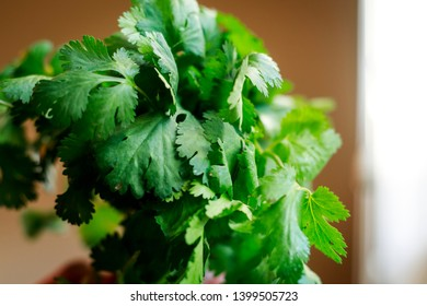Fresh green cilantro leaves, coriander leaves in hand - Image