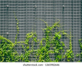 Fresh Green Climbing Ivy on Wire Mesh Against Gray Wall