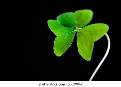 Fresh green clover against black background