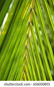 Fresh green coconut leaves texture,