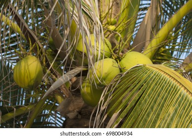 Fresh green coconuts on the palm tree
