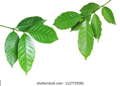 Fresh Green Coffee Leaves Isolated on White Background