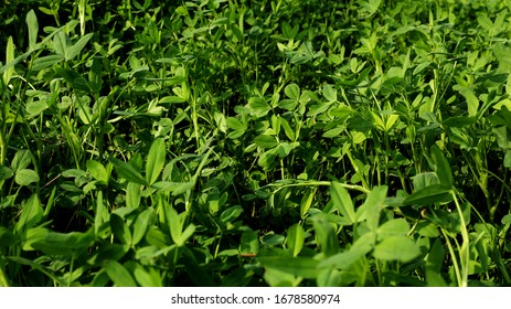 Fresh green color clover plants use as fodder in Haryana, India.