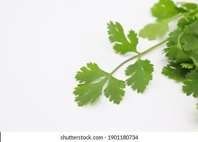 fresh green coriander leaf isolated on white background