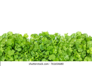 fresh green coriander leaf vegetable texture isolated on white background with copy space for text