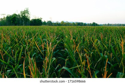 Fresh green corn fields are waiting for farmers to come to harvest