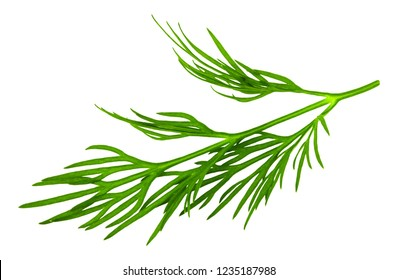 fresh green dill isolated on white background. macro.