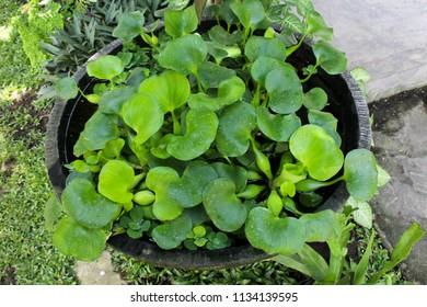 Fresh green eceng gondog plant set on the big pot on the backyard
