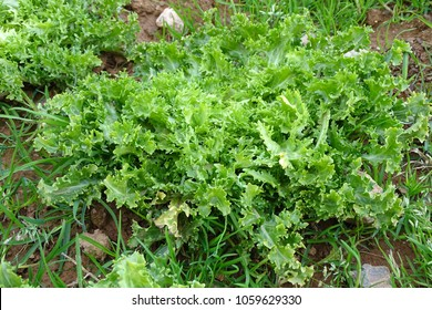 fresh green endive growing in the ground, vegetable in an orchard in detail