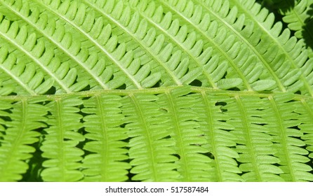 Fresh green fern leaves in closeup