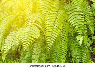 Fresh green fern natural background - Shutterstock ID 565154755