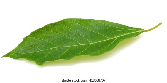 Fresh green fig leaf isolated on white background