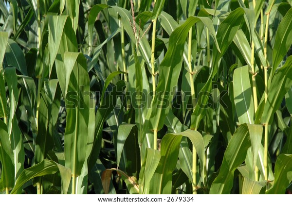 Fresh green foliage of maize, natural background