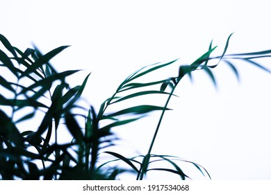 A fresh green foliage on white background - perfect for an interior. dark green leaves house plant - Shutterstock ID 1917534068