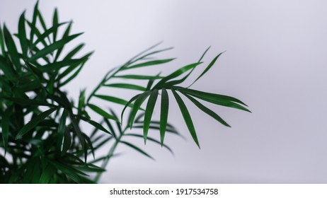 A fresh green foliage on white background - perfect for an interior. dark green leaves house plant - Shutterstock ID 1917534758