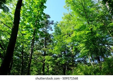Fresh green forest, Karuizawa, Nagano, Japan