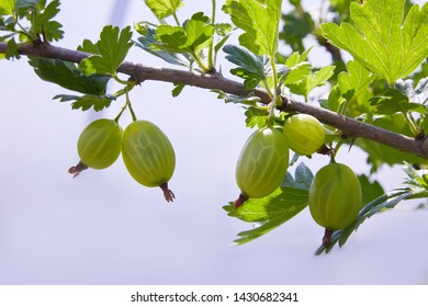 Fresh green gooseberries on a branch of gooseberry bush with sunlight. Fresh and ripe organic gooseberries growing in the garden