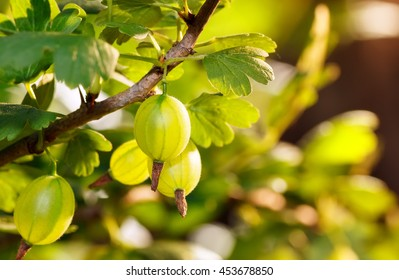 Fresh green gooseberries on a branch  with sunlight