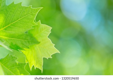 Fresh green grape leaf over blurry background, freshness of a spring nature, vineyard in bright sunny day, winery farm
